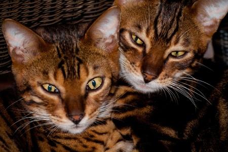 2 chats bengal face côte à côte