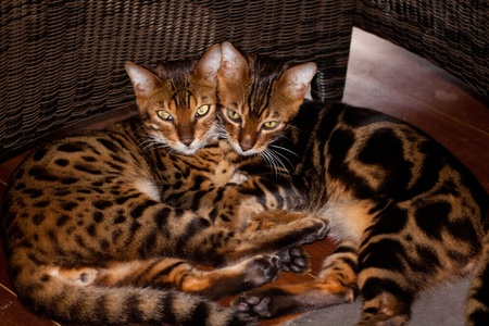 2 bengal cats lied down together side by side