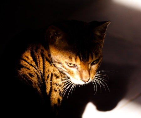 A bengal cat between shadow and light