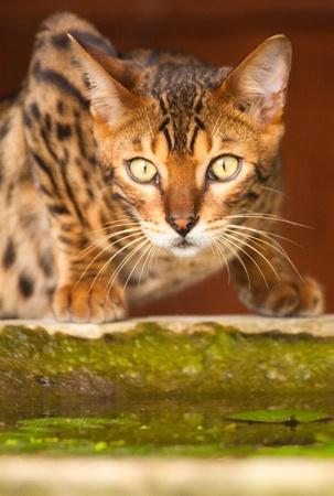 A bengal cat staring like a felin