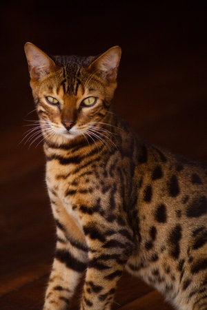 Un chat bengal élégante assises Banque d'images