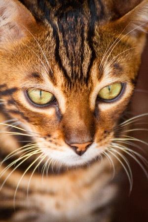 Mignon regardant le visage de chat bengal Banque d'images