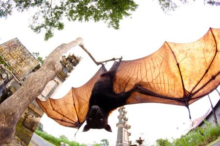 pteropus: Open bat