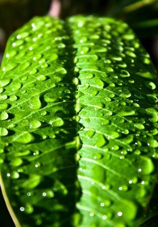 Une feuille verte abattu après la pluie