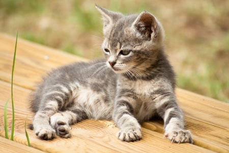 A grey and white baby cat lying on a wood terrace