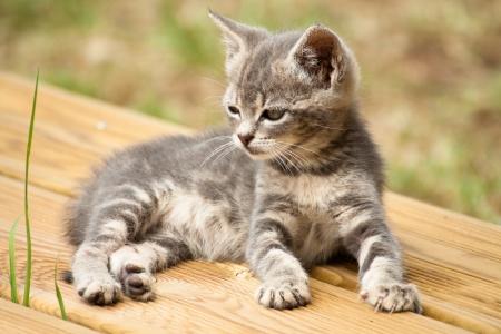 Un bébé chat gris et blanc couché sur une terrasse en bois