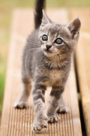 A funny grey white baby cat walking and looking up Stock Photo