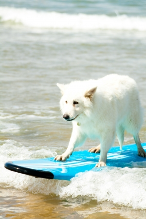 A big white dog surfing on a blue board Stock Photo