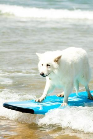 Un gros chien blanc sur une planche de surf bleu