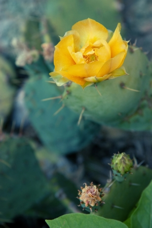 prickly pear: Prickly pear cactus with yellow blossom Stock Photo