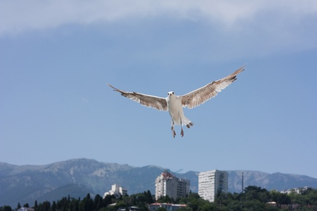 wingspread: Seagull in flight over the mountains