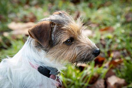 Puppy parson russell portrait on grass