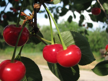 fascicule: cherry bunch Stock Photo