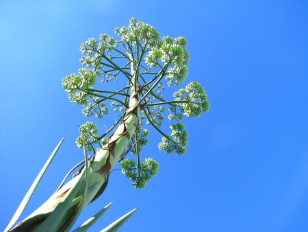 haulm: The agava halm