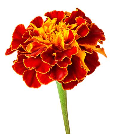 Marigold flower isolated on white background.
