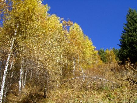 mountainside: Gold autumn. Birches, aspens and blue firs in mountains.