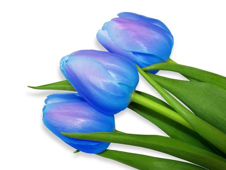 Blue tulips isolated on white background photo