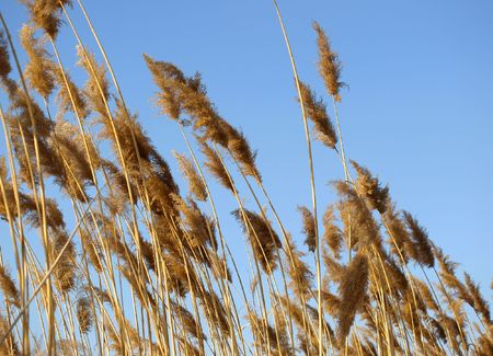 gusty: Golden dry rush on a background of the blue sky