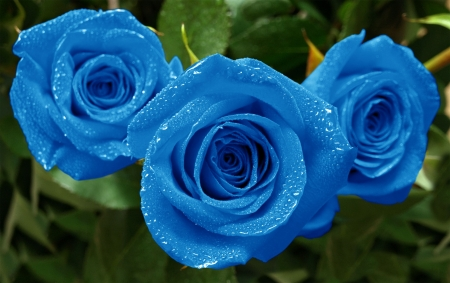 Three beautiful blue roses with water drops