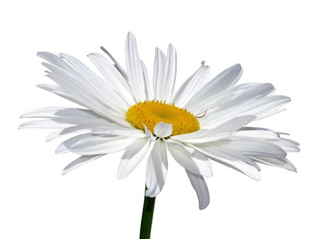 bloomy: Camomile flower macro isolated over white with clipping path