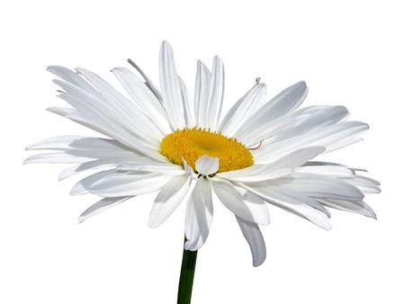 Kamille Blume Makro isoliert über weiß mit Clipping-Pfad Standard-Bild - 3311808