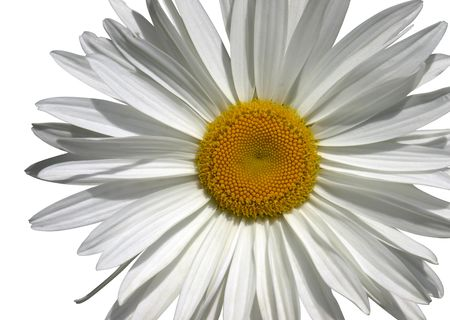 bloomy: Camomile flower macro from above isolated over white with clipping path