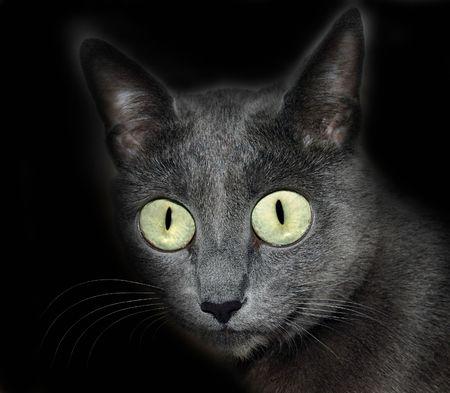 Mystical burmese Cat (Russian blue) over black background. photo