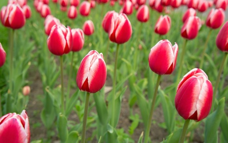 Background of beautiful red-white tulips in spring. photo