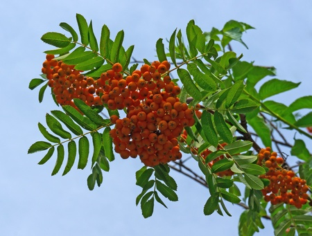 Rowan berries naturally hanging on the tree. photo