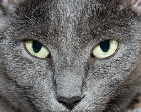 Eyes of Russian Blue Cat (Burmese Cat) photo