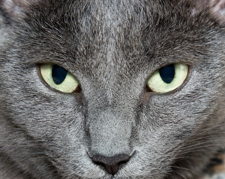 gray cat: Eyes of Russian Blue Cat (Burmese Cat)