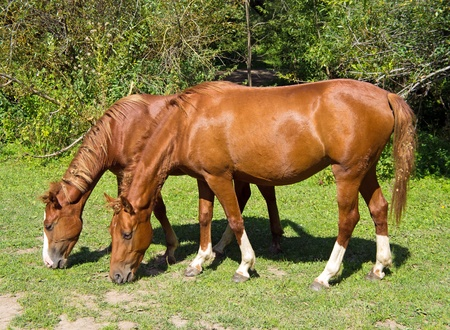 Pair of wild horses are eating grass.