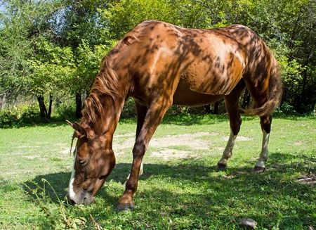 conservation grazing: One wild horse is eating grass.