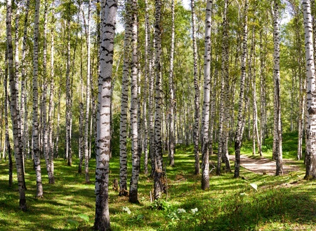Large Birch and Aspens Trees Forest in summer. Stock Photo