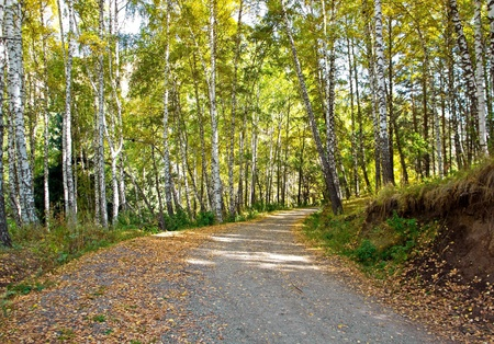boles: Road in an autumn birches forest in alps mountains