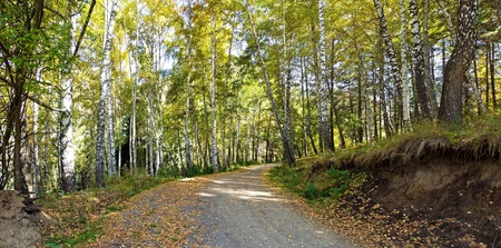 boles: Panorama of road in an autumn birches forest in alps mountains