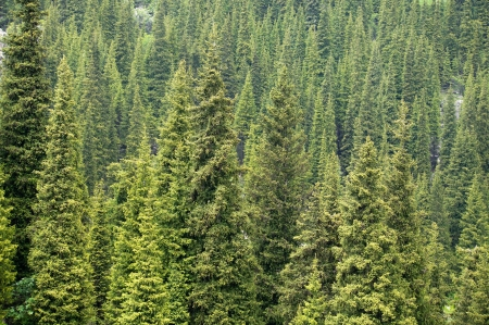 Full image of coniferous trees in alps - backgrounds  photo