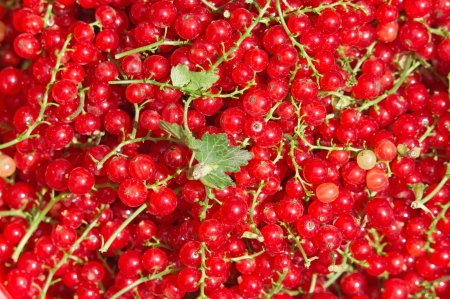 Background of natural red currant berries photo