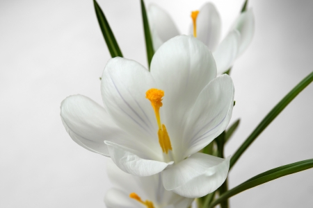 Close up on the pistil and stamens of white crocus flower photo