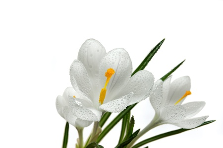 Close up on the pistil and stamens of white crocus flower with water drops photo