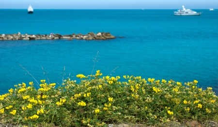 Yellow wild flowers overlooking the Mediterranean Sea. Antibes, France. photo