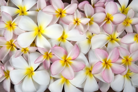 Closeup white and rose plumeria flowers background photo