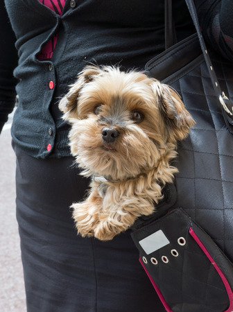 Adorable yorkshire terrier inside shoulder bag carrier photo