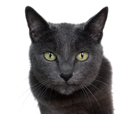 Portrait of Russian Blue cat on white background.