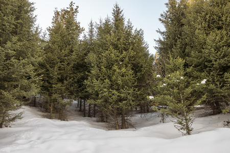 tien shan: Green prickly branches of a Tien Shan spruce.