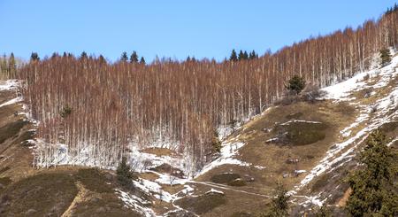 tien shan: Aspen trees in winter in Tien Shan mountains, Kazakhstan.