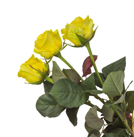 included: Yellow roses isolated on white background. Clipping Path included.