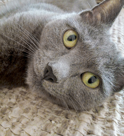 russian blue: Russian blue cat laying indoors and looking