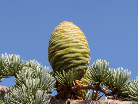 Young green cone cedar on blue sky background