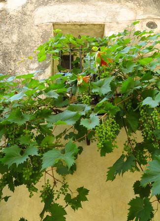 Saint Paul de Vence - Vine of grape growing over old wall